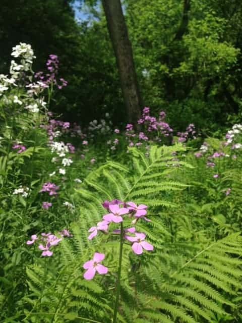 Phlox blooms in shades of purple and white near the Green River. Photo by Kate Abbott