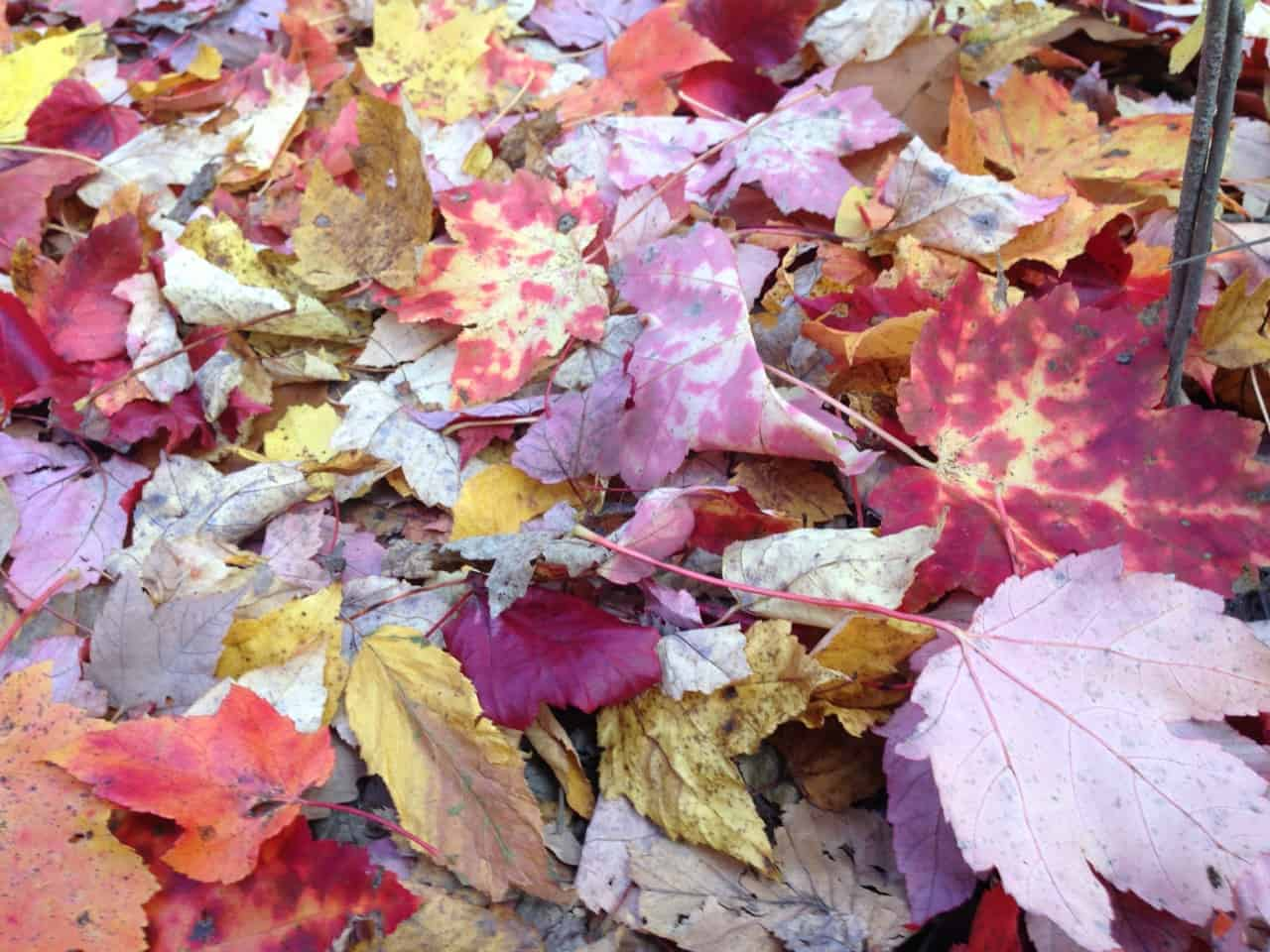 Maple leaves range from deep garnet to pale yellow — and sometimes both at once. Photo by Kate Abbott