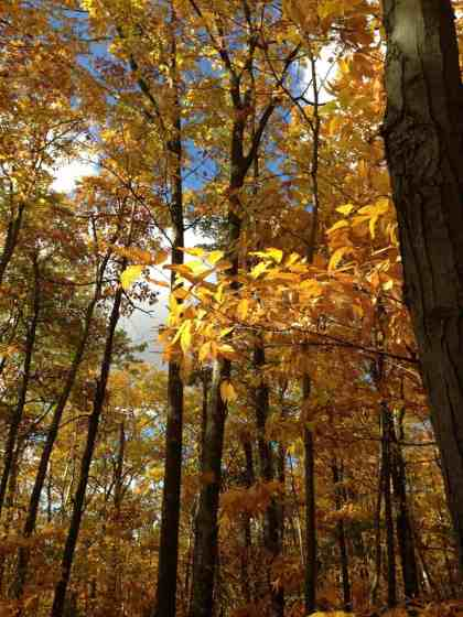Fall turns Pine Cobble golden. Photo by Kate Abbott
