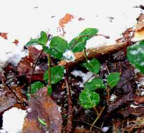 "Partridgeberry or squawberry is a common woodland plant that grows vine-like close to the ground and seems to especially enjoy the company of white pine and moist woods. In summer, it grows twin flowers that make one bright red fruit favored by grouse and mice. If not eaten the fruit may last a year on the vine making it an ideal choice for a small ""berry bowl."" Photo by Thom Smith"