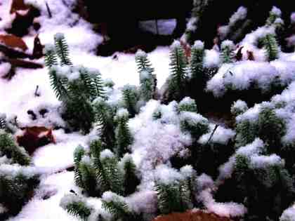 Shining Club Moss, a small upright growing woodland plant, has no flower but retains its cheerful green through the snowy winter months. It grows so slowly it should only be harvested prudently, if at all. Photo by Thom Smith