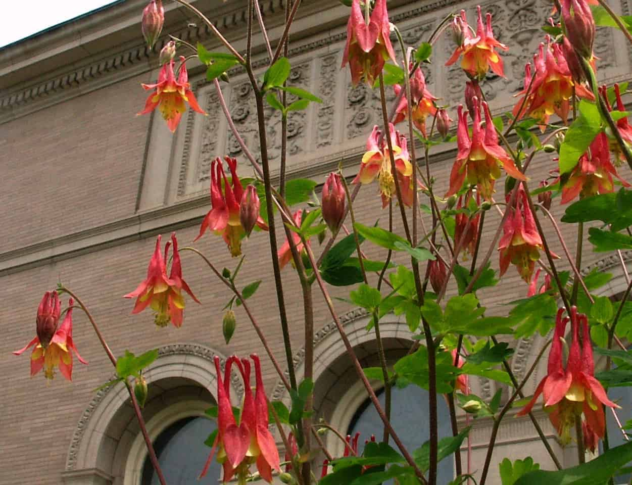 Columbine will bloom in full sun, even outside the Berkshire Museum. Photo by Thom Smith