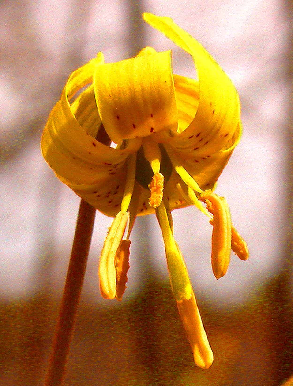 Ephemeral Trout lily folds golden wings on dense forest floors in the early Spring. Photo by Thom Smith
