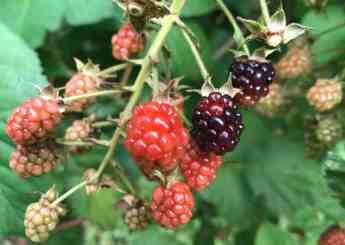 Dark berries with red highlights are almost ready to pick. Photo by Kate Abbott