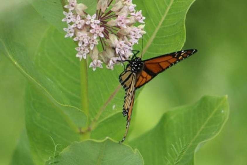 A monarch butterfly sips nectar. Photo by Thom Smith