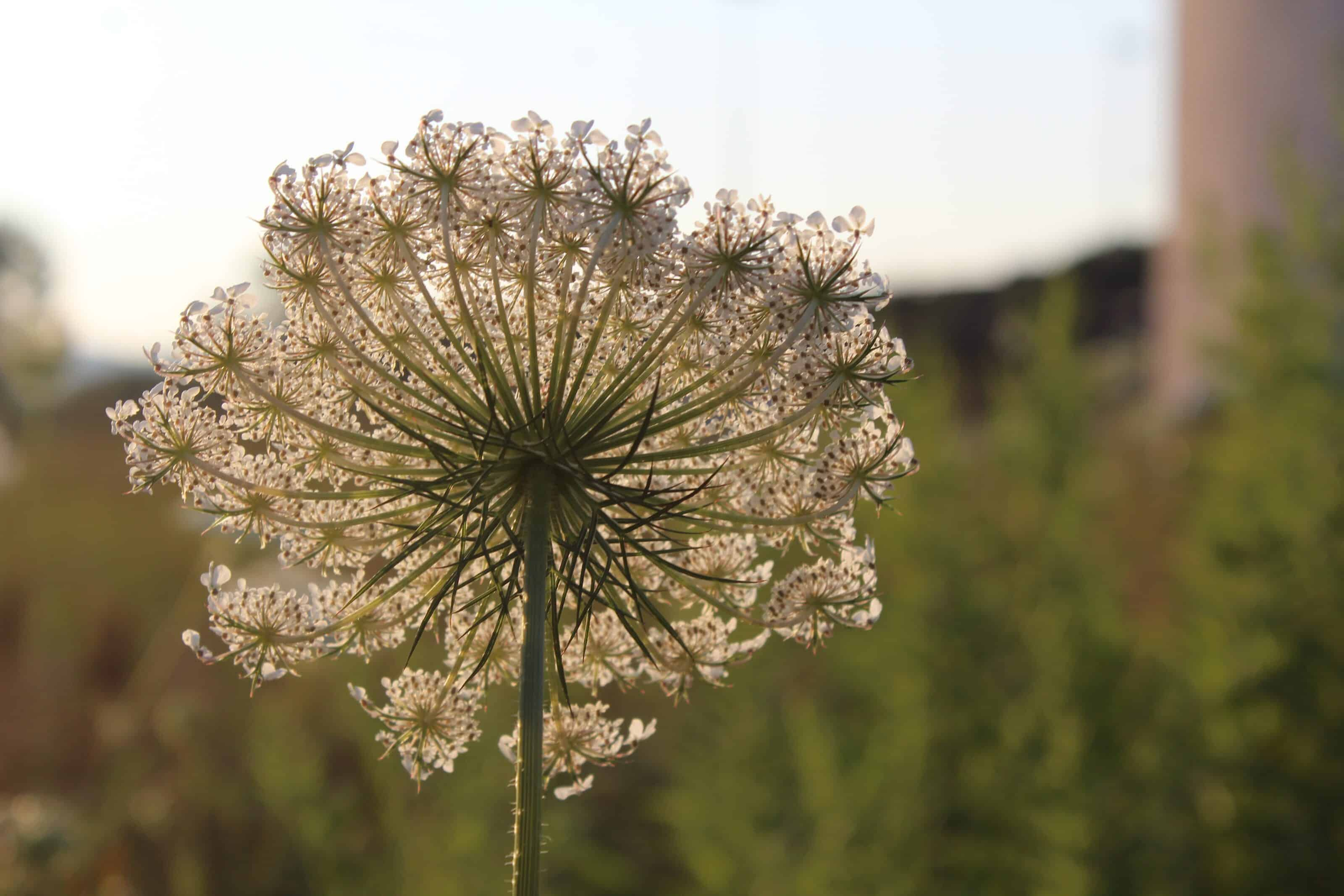 Queen Anne's Lace blooms along the roads and in the fields in high summer. Photo by Thom Smith