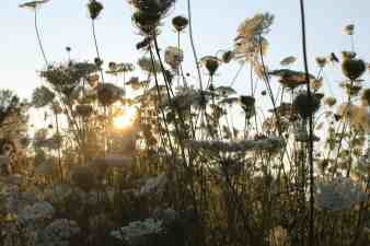 The sun sets through meadow flowers. Photo by Thom Smith
