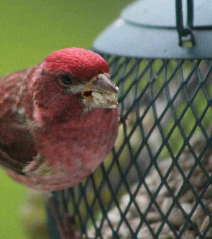 2. Purple Finch — gives the impression it has been dunked in raspberry juice or jam. It is easier to identify when you see a pair; the females have no red. They are streaked below, with facial markings with a white eye stripe and a dark line down the side of the throat. (BOSS, BOSSH, SFR, NGR) Photo by Thom Smith