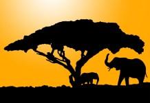 Acaciaboom met Olifanten Silhouet Acacia