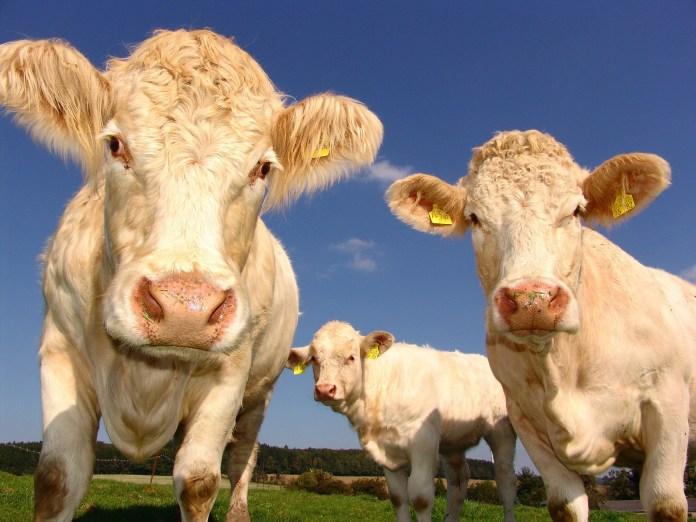 koeien melkkoeien landbouw veeteelt boerderij veehouderij melkveebedrijf