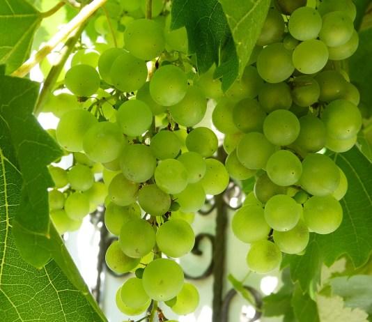 wijnbouw wijndruiven