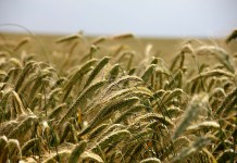 landbouw graan veld