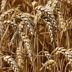 Tarwe Aar Granen Graan Veld De Landbouw Korenveld