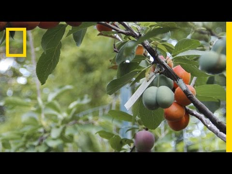 Have You Seen A Tree That Grows 40 Kinds of Fruits?