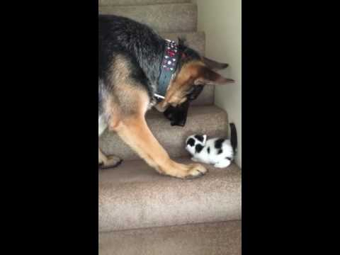 Dog Carries Kitten Upstairs, So Cute