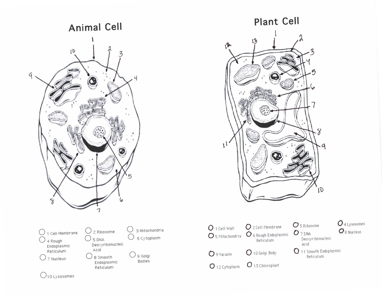 Plant And Animal Cell Coloring Worksheets Answer Key