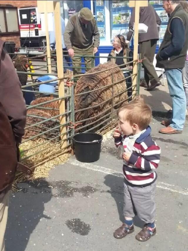 toddler looking at sheep