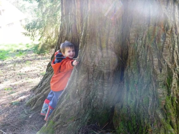 tree hugging a redwood