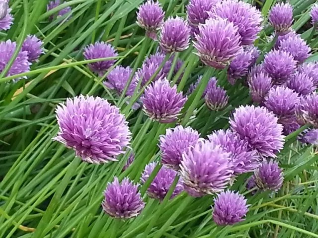 cloves flowers