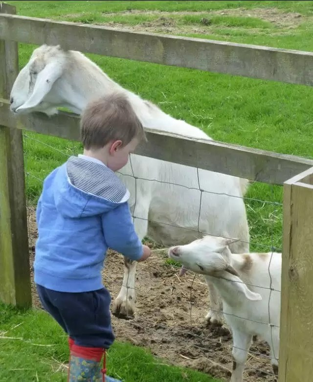 feeding-goats.