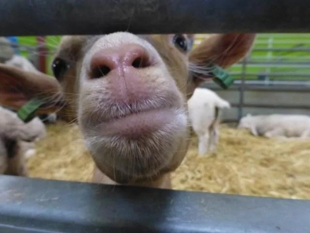 goat kid up close Cotswold Farm Park