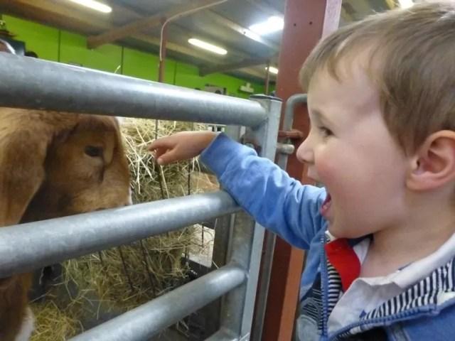 stroking goat kids