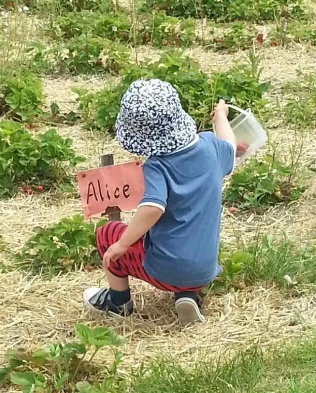 Alice strawberries..