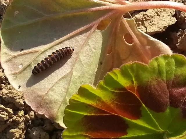caterpillar on geraniums