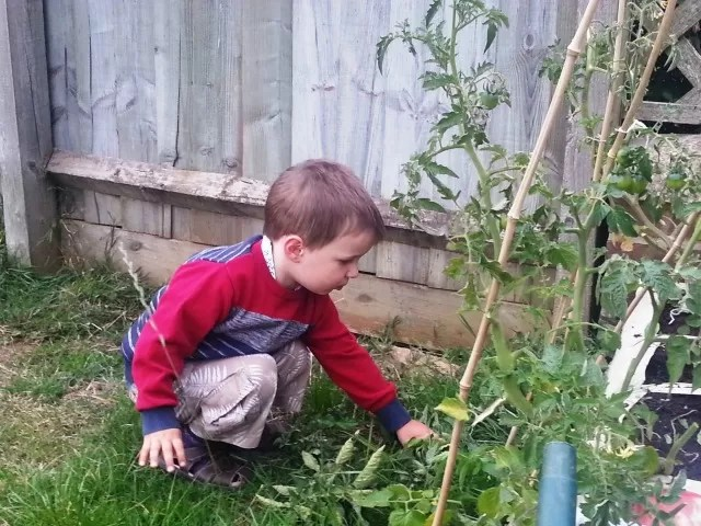 helping tidy up the tomato plants