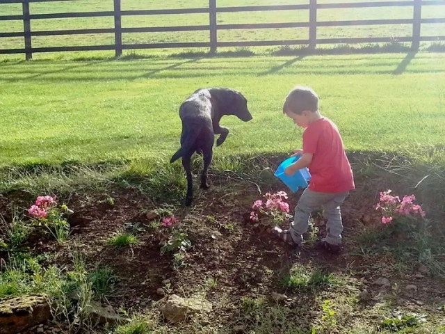 watering garden with dog in tow