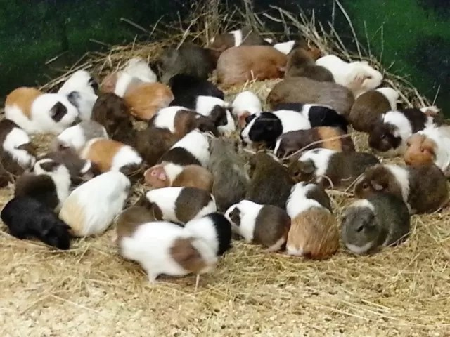guinea pigs at hatton