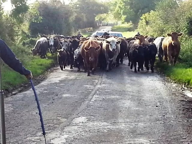 moving cattle along the road