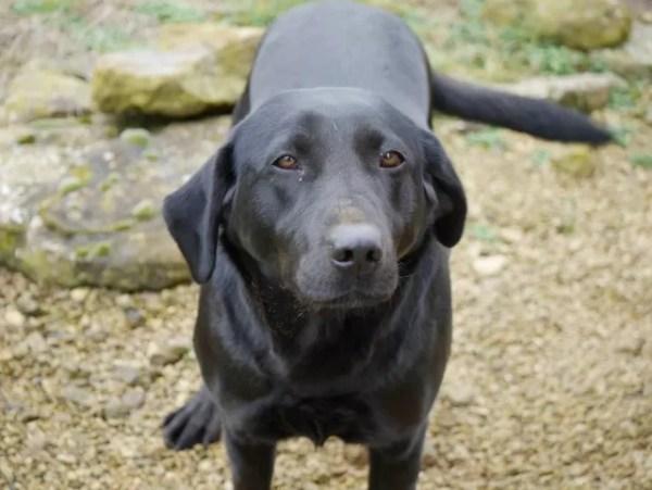 Fern, black labrador on the farm
