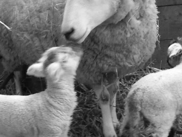 lamb and ewe kissing