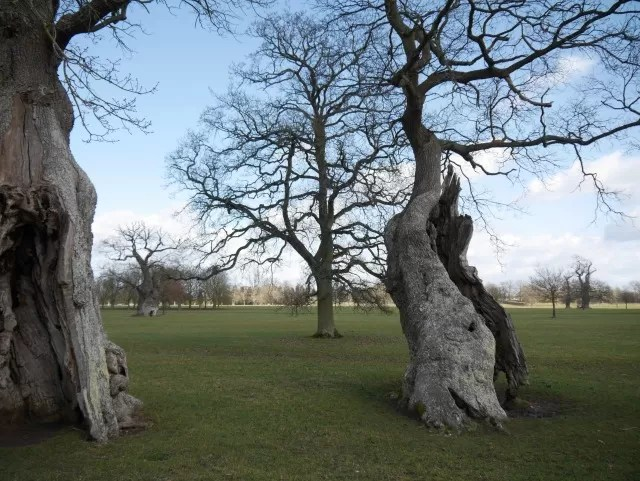trees at Blenheim Palace