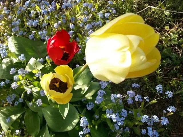tulips in the garden