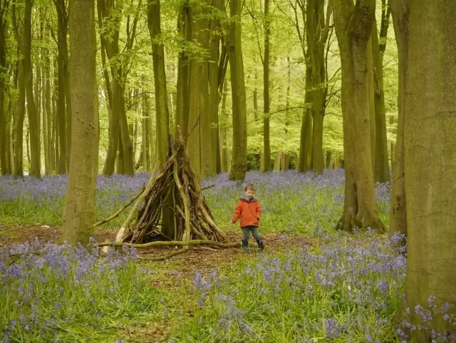 den in Badbury Clump - bluebell woods