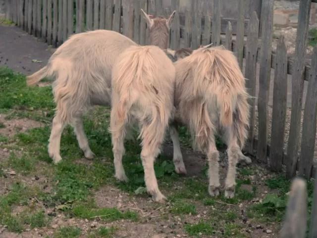 3 bottomed goat!