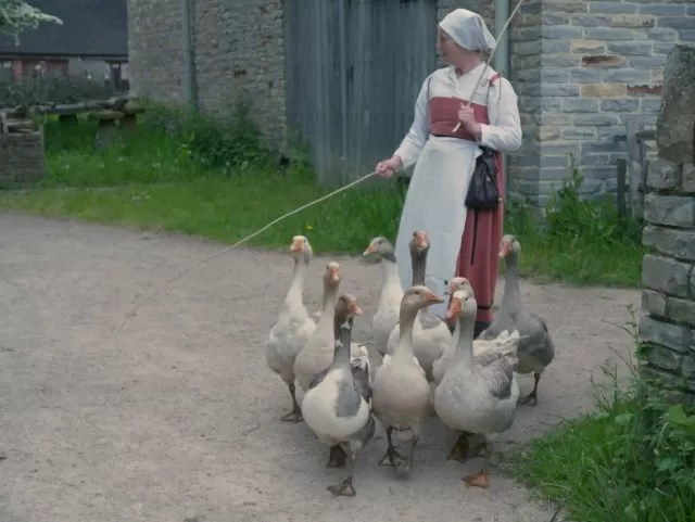 herding geese at Mary Arden's farm