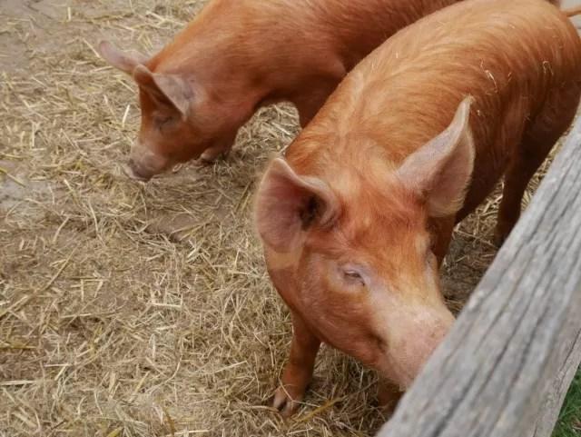 pigs at Mary Ardens Farm
