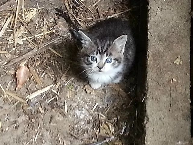 farm kitten and blue eyes