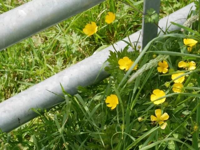 buttercups near a farm gate