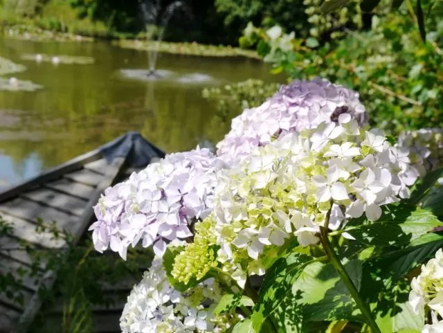 hydrangea overlooking the water gardens
