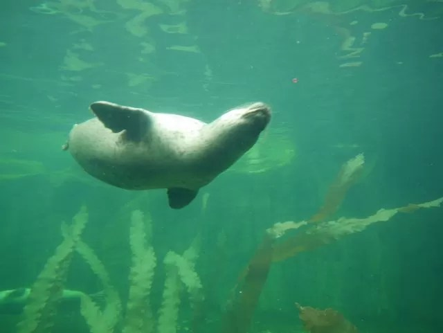 seal swimming at Sealife Centre