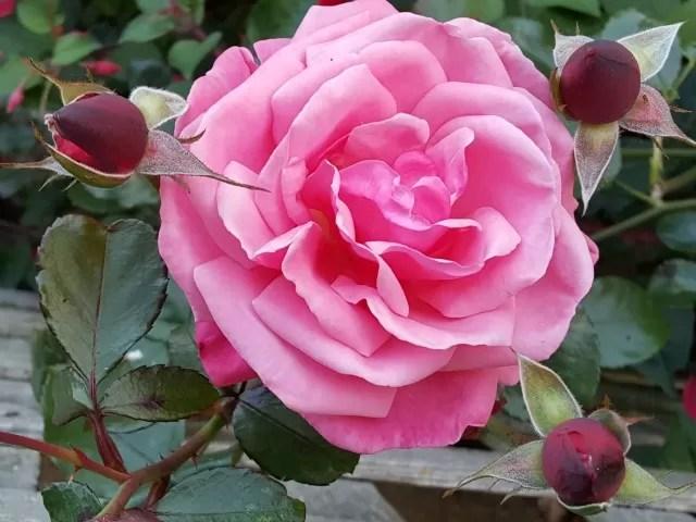 pink rose int he garden