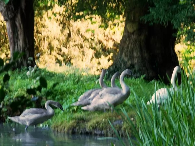 family of swans at Wroxton