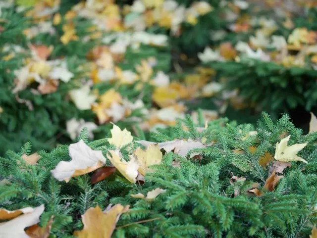 leaves on fir trees