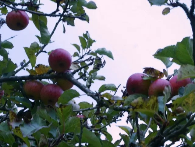 orchards at Upton House