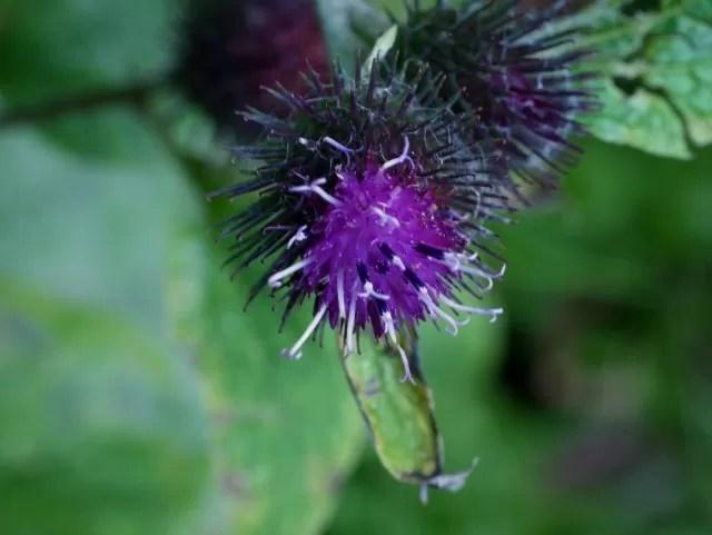 purple thistle type flowers