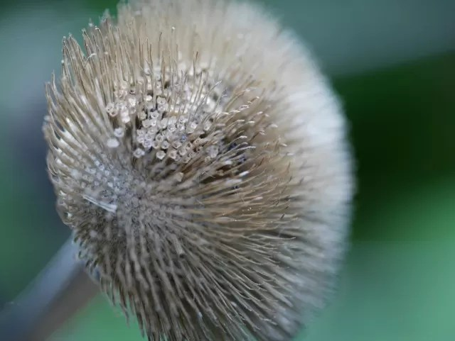 teasel macro close up